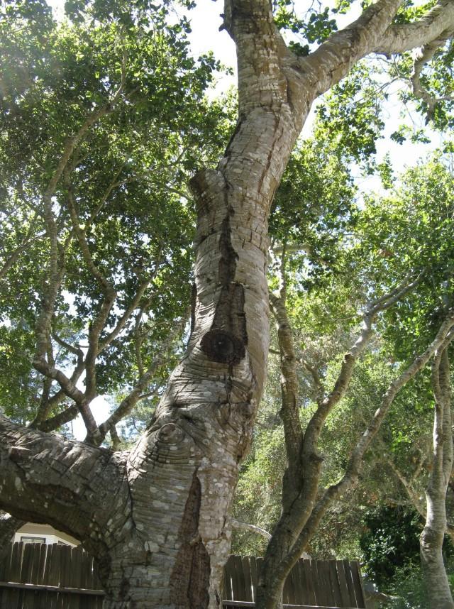 Oak 1 a